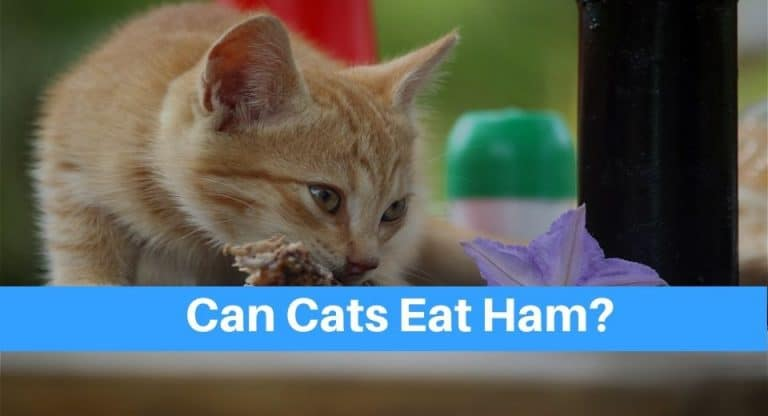 cat-eat-ham