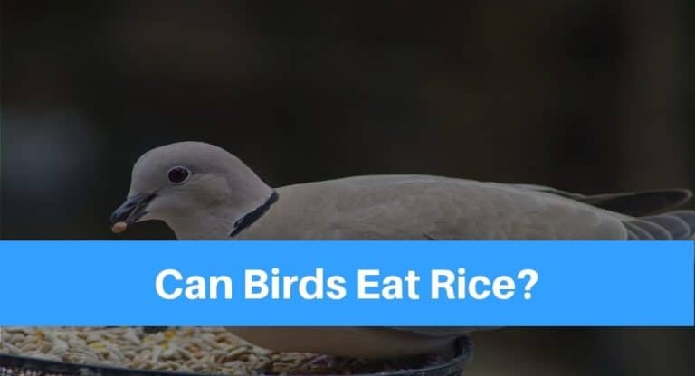 bird-eat-rice