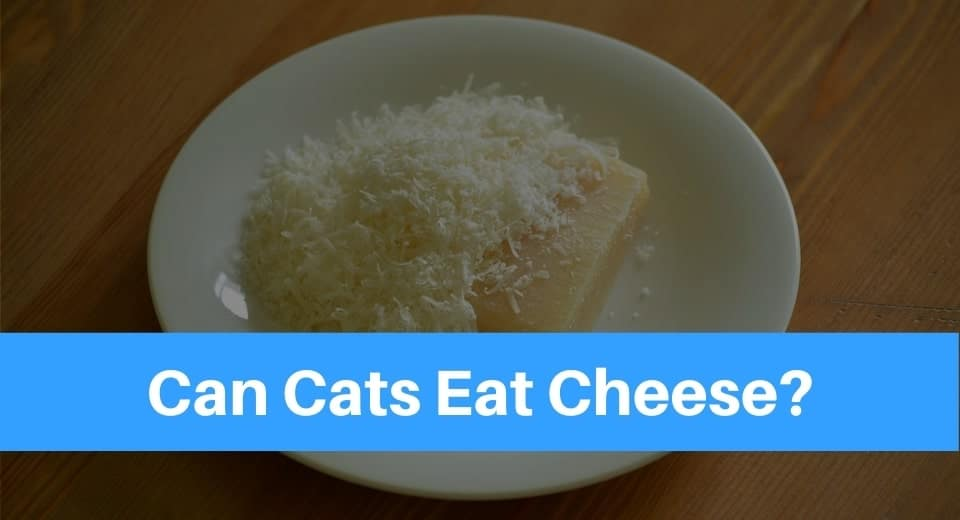 cats-eat-cheese