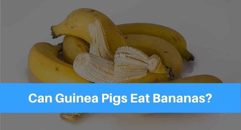 guinea-pig-banana