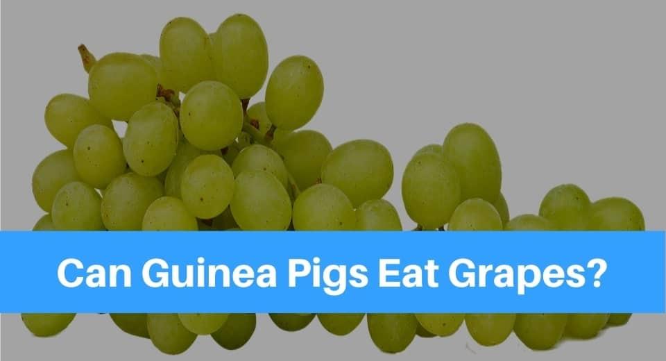 guinea-pig-grapes