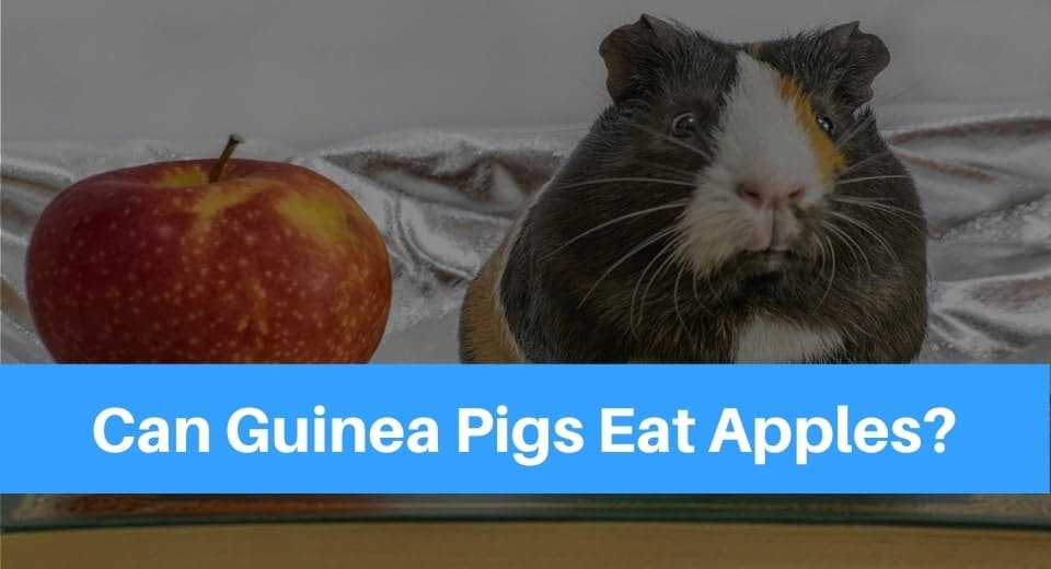 guinea-pigs-apple