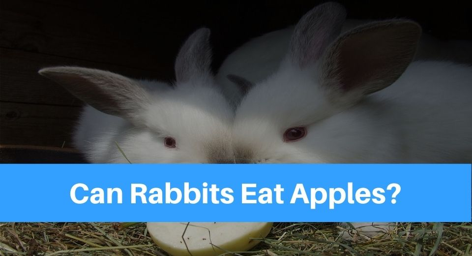 rabbits-eat-apple