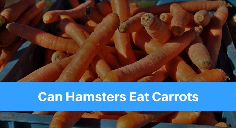 can hamsters eat carrot