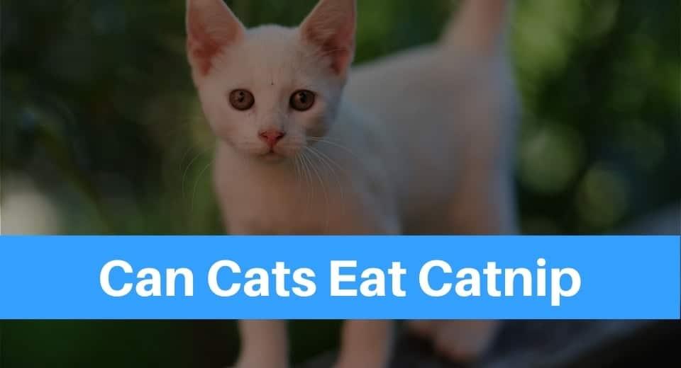Can Cats Eat Catnip