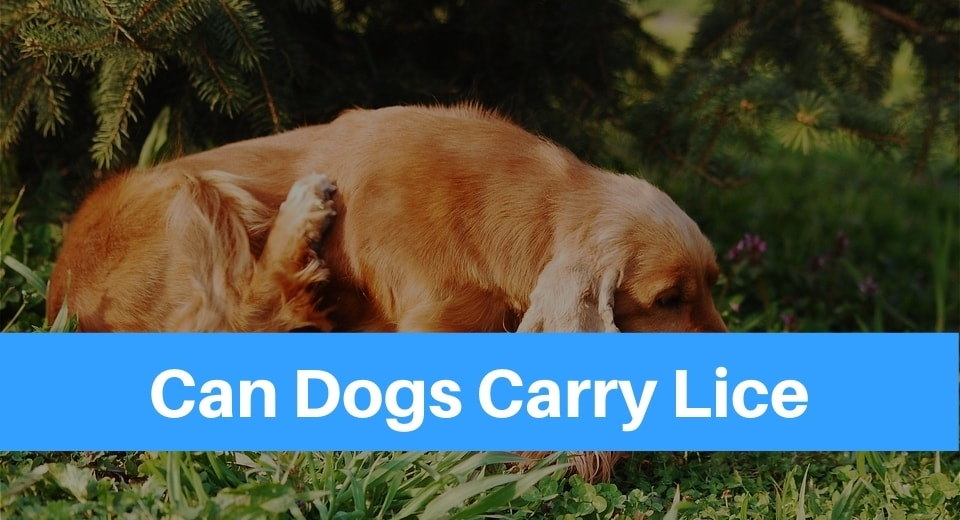 can-dogs-carry-lice