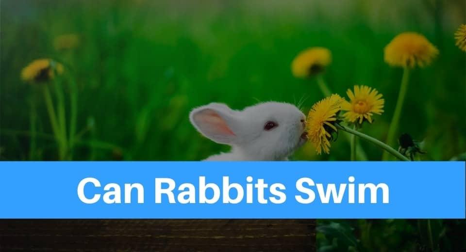 can-rabbits-swim
