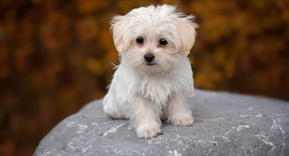 maltese-dog-breed