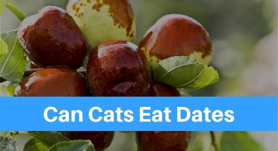 can-cats-eat-dates