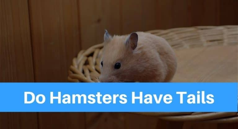 Do Hamsters Have Tails