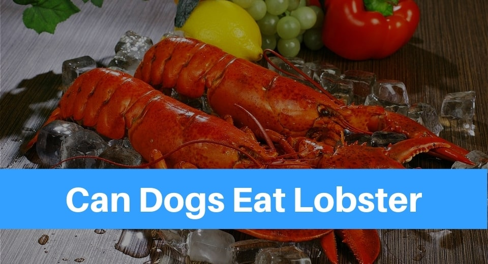 Lobster Can Dogs Eat Lobster