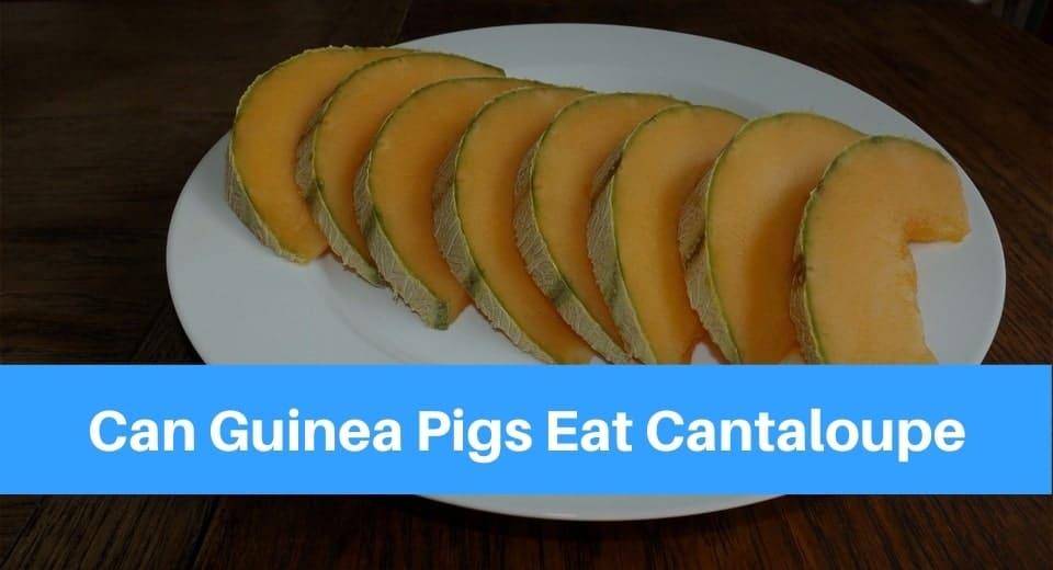 Can Guinea Pigs Eat Cantaloupe