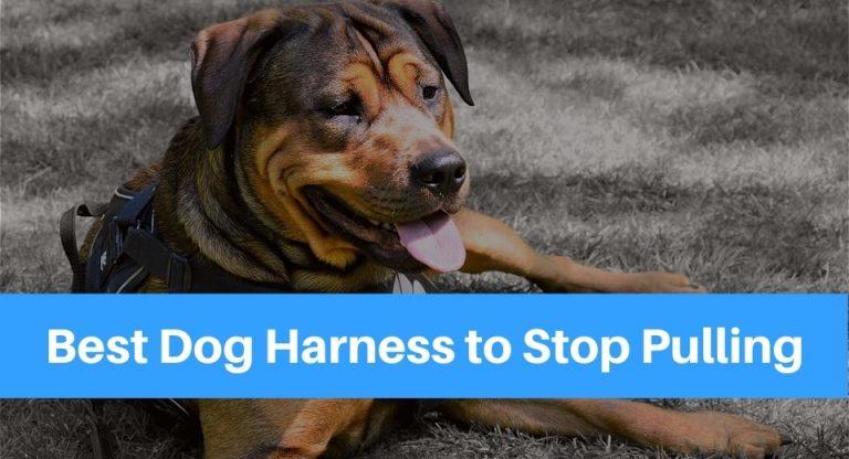 Photo of Rottweiler Dog