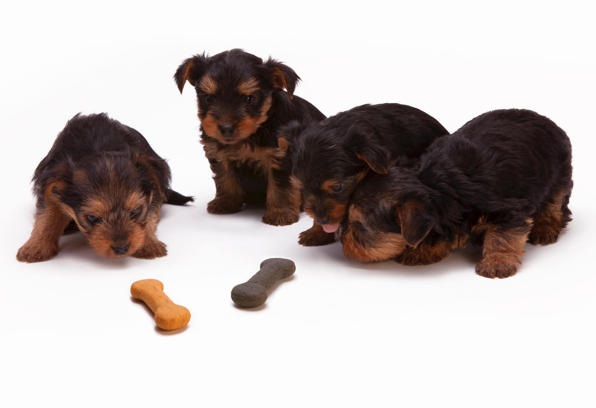 four puppies looking at bone-shaped food