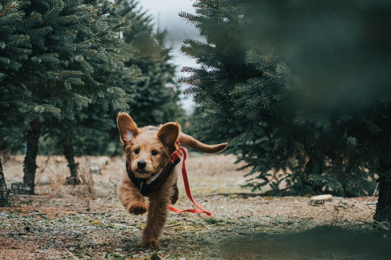 photo of a brown dog with a harness running in the middle of the forest