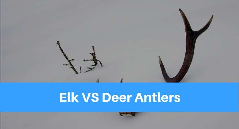 Elk VS Deer Antlers