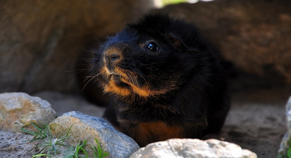 guinea-pigs-and-dark