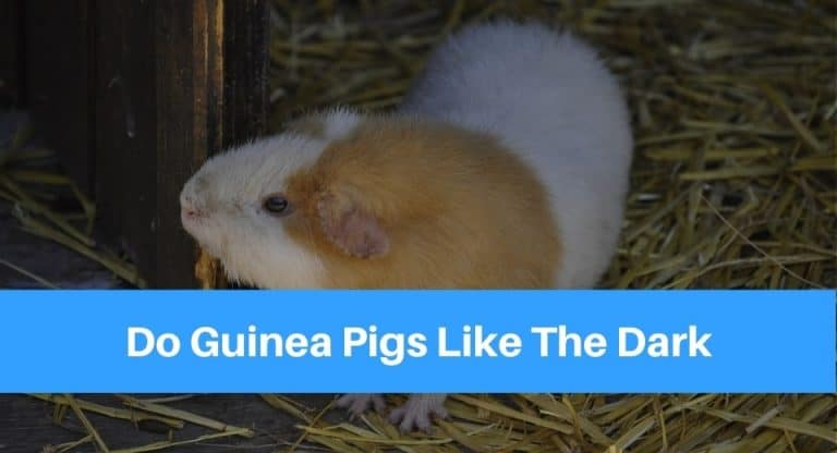 guinea-pigs-like-dark