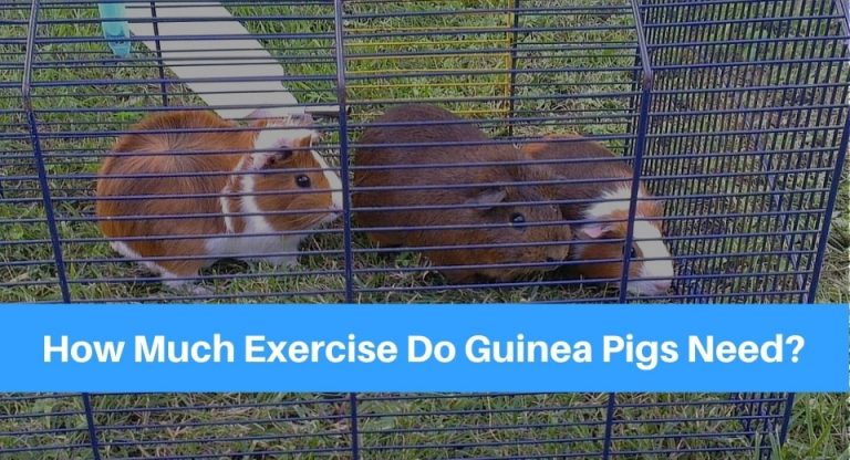 guinea-pigs-need-exercise