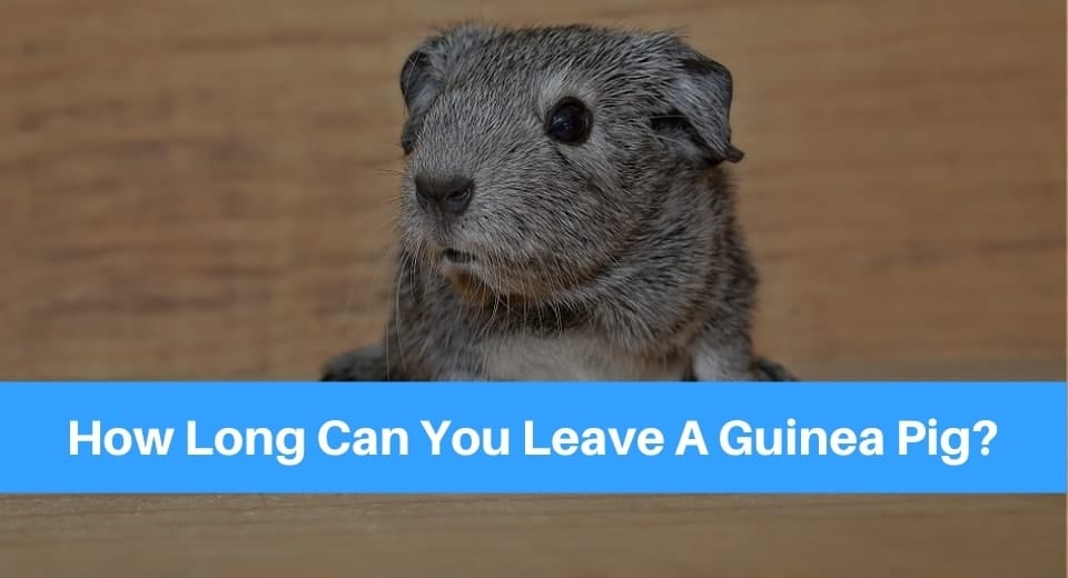 how-long-can-you-leave-a-guinea-pig
