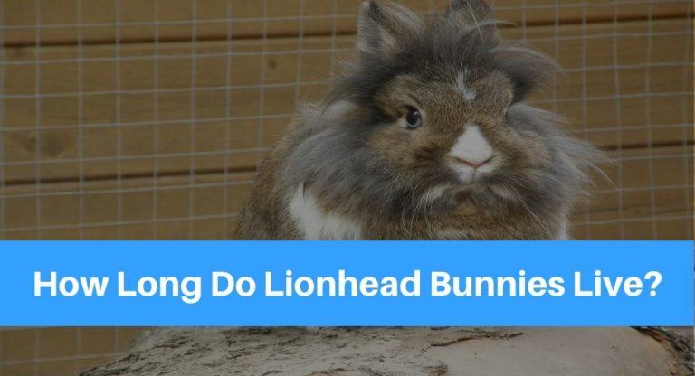 lionhead-bunnies