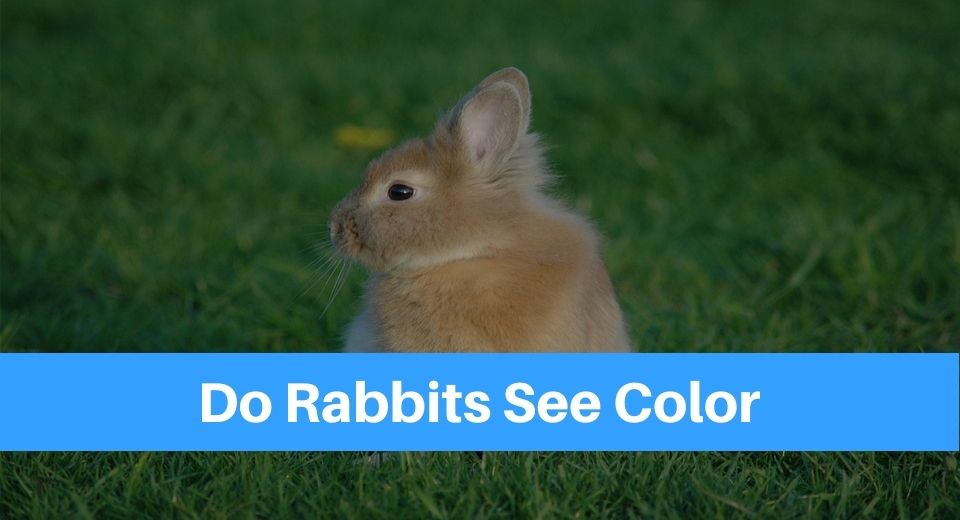 rabbit-see-color