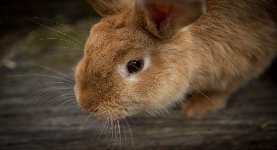 rabbit-vision