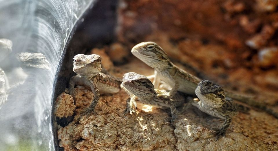 baby-bearded-dragon
