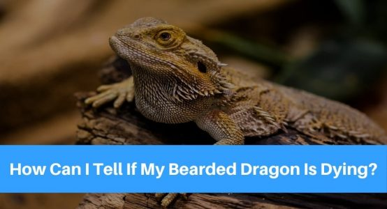 How Can I Tell If My Bearded Dragon Is Dying?