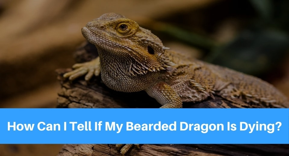 bearded-dragon-is-dying