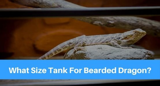 What Size Tank Is Needed For My Bearded Dragon?