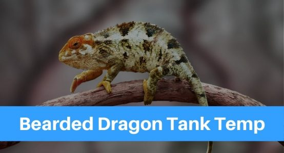 What Is The Correct Bearded Dragon Tank Temperature?