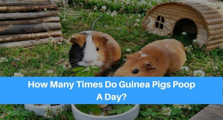 guinea-pigs-poop
