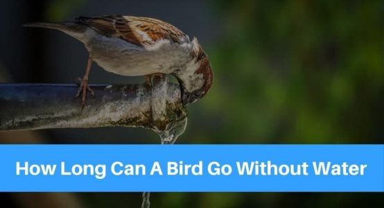 How Long Can A Bird Go Without Water