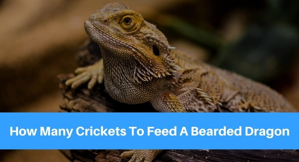 how-many-crickets-to-feed-a-bearded-dragon