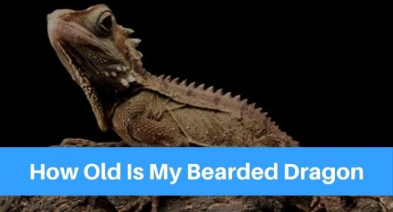How Old Is My Bearded Dragon – Tips To Figure Out Their Age