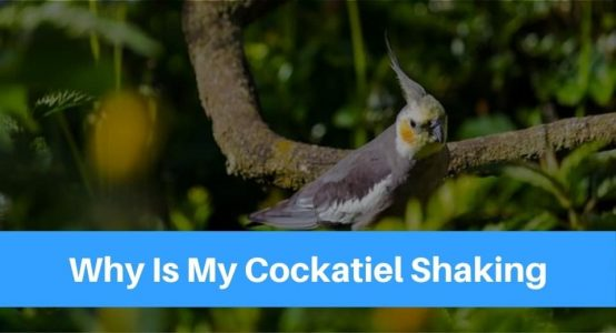 Why Is My Cockatiel Shaking – Should You Be Worried?
