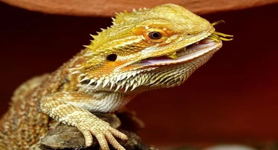 Bearded-dragons