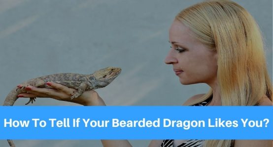 How To Tell If Your Bearded Dragon Likes You!