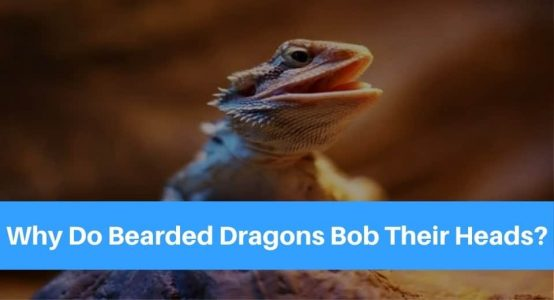 Why Do Bearded Dragons Bob Their Heads? Should You Be Worried?