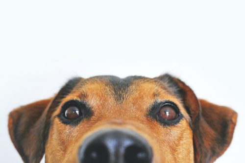 close up picture of a brown dog