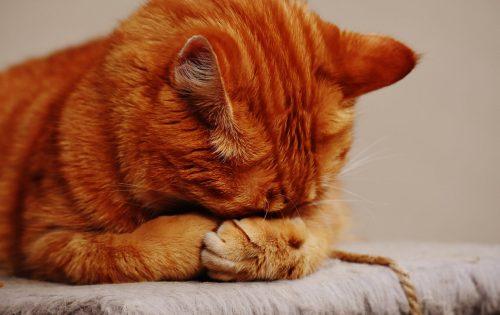 orange tabby cat hiding face