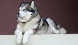 10 Dogs That Look Like Huskies
