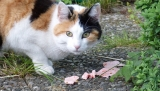 Can Cats Eat Ham?