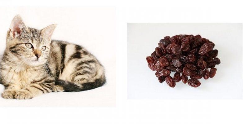 Can Cats Eat Raisins?