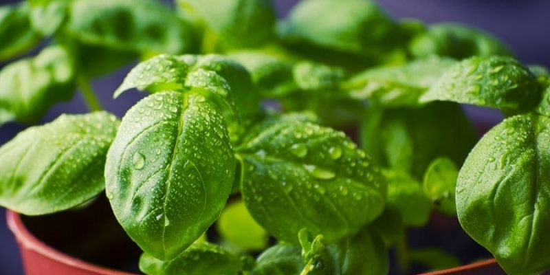 Can Dogs Eat Basil?