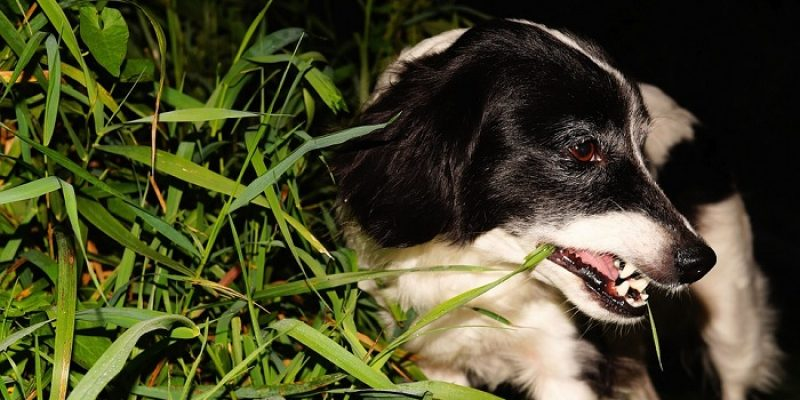 Can Dogs Eat Parsley?