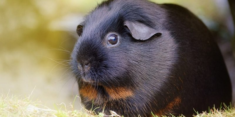 Can Guinea Pigs Eat Blueberries?
