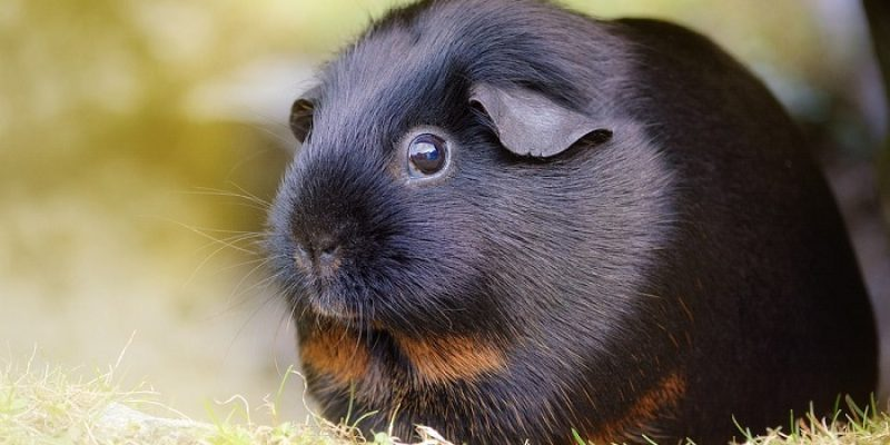 Can Guinea Pigs Eat Carrots?