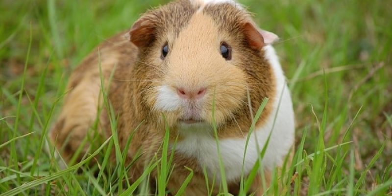 Can Guinea Pigs Eat Cherries?